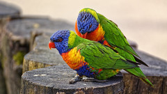 Come On Bro, Let's Split (Alfred Grupstra) Tags: bird animal parrot nature multicolored wildlife yellow feather pets red beak greencolor tropicalclimate outdoors blue animalsinthewild closeup vibrantcolor animalwing beautyinnature
