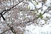 Prunus x yedoensis 'Akebono' (Masaoki Hirai) Tags: trioplanf28100 cherry prunus cerasus rosaceae cherryblossoms
