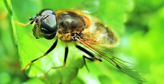 Macro Fly (seanwalsh4) Tags: insect fly macro closeup nature 7dwf wednesdaymacroorcloseup macroorcloseup
