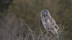 Great Gray Owl (Raymond J Barlow) Tags: owl ontario greatgreyowl wildlife travel adventure phototours raymondbarlow