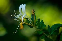 Honeysuckle (heeeerod) Tags: flower honeysuckle spring