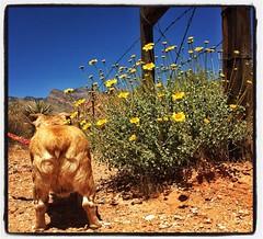 Desert Flowers (heiney) Tags: instagramapp square squareformat iphoneography uploaded:by=instagram lofi littledoglaughedstories