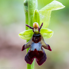 Fly Orchid (Ophrys insectifera) (BiteYourBum.Com Photography) Tags: blue dawnandjim dawnjim biteyourbum biteyourbumcom copyright©2017biteyourbumcom copyright©biteyourbumcom allrightsreserved canoneos7d canonefs60mmf28macrousm sigma50500mmf4563dgoshsm canonef1740mmf4lusm apple imac5k lightroom5 ipadair appleipadair camranger lrenfuse focusstacking polaroidautofocusdgmacroextensiontubes manfrotto055cxpro3tripod manfrotto804rc2pantilthead loweproprorunner350aw uk unitedkingdom gb greatbritain england kentwildlifetrust kent yocklettsbank fly orchid ophrys insectifera flyorchid ophrysinsectifera