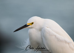 Snowy Egret (Chris Hardee Photography) Tags: snowy wading bird nature outdoor wetlands serene