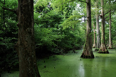 Greenville - Green Swamp (Drriss & Marrionn) Tags: bluestrail2014 greenville outdoor landscape nature swamp bayou tree trees cypresstrees green water forest