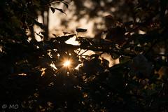 Just golden (mathieuo1) Tags: gold golden hour shadow tree leave garden sun light sunset goldenhour colors orange shape autumn dlsr nikon d800 70200 bokeh zoom feelings discover dawn nature wild natural park outdoor pro mathieuo europe france lyon macro micro