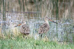 At the Ranch Pond (Patricia Henschen) Tags: marbledgodwit marbled godwit shorebird bird pond headquarters chicobasinranch ranch plains colorado coloradosprings