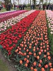 Keukenhof - Tulip Gardens (darrenboyj) Tags: keukenhof flowers plants flowerbed lines tulips holland spring netherlands people event colors colours red pink orange