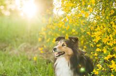 Elfy (maximegimenez) Tags: lac herbe arbre photographie photographier photo summer dog elfy chien