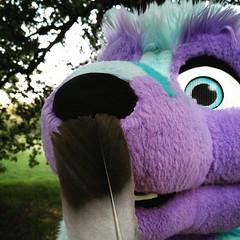 #sneeze #feather #fursuiting #blue #purple #wolf (Keenora Fluffball) Tags: keenora fursuit furry kee
