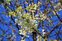 Cherry Blossom Bokeh (JulieK (thanks for 8 million views)) Tags: hss sliderssunday blossom 100flowers2017 spring topazglow canoneos100d jamestownnaturereserve wexford ireland irish flora wildflower tree bluesky beautifulnature postprocessed