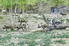 How many Painted dogs can you find? (ucumari photography) Tags: ucumariphotography lycaonpictus painteddog wilddog african animal mammal cincinnati ohio zoo 2017 april dsc1884