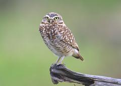 Burrowing Owl (miketabak) Tags: