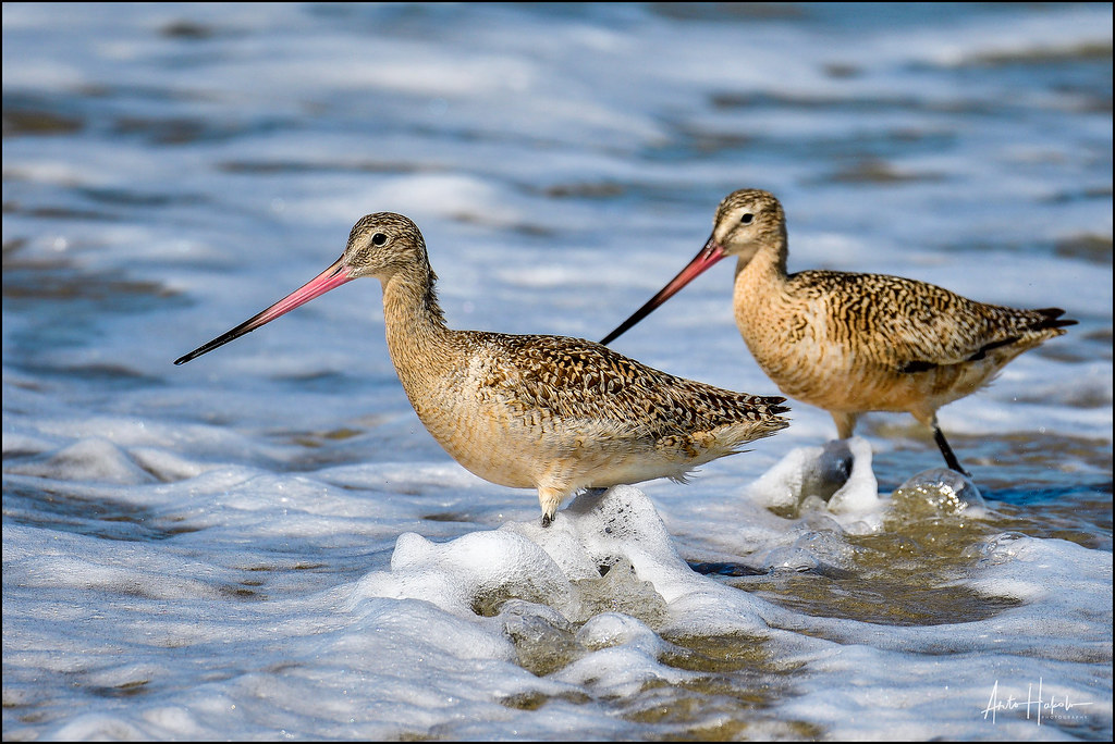 The world 39 s best photos of shorebird and walking flickr for Balancing bird template