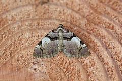 Streamer, Haig, Cumbria, England (Terathopius) Tags: streamer haig kells whitehaven cumbria england unitedkingdom uk greatbritain gb geometridae anticleaderivata larentiinae