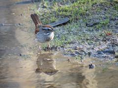 SWSP_2017f (Surfishrink) Tags: swampsparrow melospizageorgiana pandapaspond virginia montgomerycounty bird