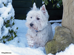 Lottie in the Snow (DougRobertson) Tags: dog westie westhighlandterrier coth5