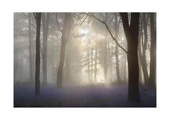 Woodland Spring Mists (Geoff Kell (Old Forest Man)) Tags: woodland spring mist dawn light backlighting bluebells