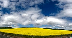 #yellow #fields #europe #uk #scotland #roadtrip #iphonephotography #iphonephoto