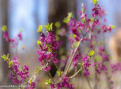 Soft Fuchsia (maureen.elliott) Tags: 7dwf soft colour blooms spring woodland forest softfocus nature fuchsia flowers