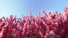 花_ (8) (katushang) Tags: nikon d800e nikond800e d800e1424 superwideangle spring blooming flower flowers china harbin haerbin fullframe fullframelens