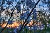 Blossoming Tree at Sunset (t-maker) Tags: spring blossom blossoming flower flowering bloom floweret floret bud leaf leafbud nature tree trunk stem bole rind bark grove copse undergrowth brushwood plant bush shrub twig branch evening sun sunset sunlight light gleam sheen glow brilliance shine lustre reflection sky magic magichour golden goldenhour macro macroshot landscape scenery kyiv kiev ukraine europe hdr sony nex