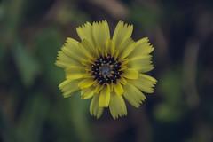 Focus (Moises Caballero Lopez) Tags: 1770mm 70mm doniños ferrol flor flower galicia k3 mcaballerolopez macro naturaleza nature pentax sigma f40