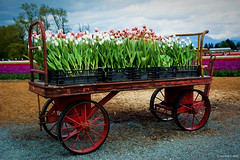 Tulips of the Valley Festival - Tulip Cart (Topaz Glow) (SonjaPetersonPh♡tography) Tags: chilliwack britishcolumbia canada nikon nikond5200 tulips fields tulipfields flowers landscape nikonafsdxnikkor18300mmf3563gedvr tulipcart cart tulipfestival2017 festival tulipsofthevalley fraservalley tulipsofthevalleyfestival topazglow spring springtime digitalart oilpaintingeffect tulipsfields tulip gardens blooming blooms tulipfestival people visitors