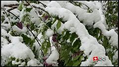 Mannedorf, Switzerland....🇨🇭 (Shobana Shanthakumar) Tags: männedorf männedorfgemeinde switzerland swiss schweiz suisse winter snow snowfall google youtube zurich zurichsea zurichcity zürich zürichsee zürichfest swisswhether swissnature nature whether