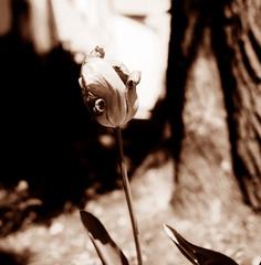 Tulip (Claudio Taras) Tags: claudio contrasto controluce taras trier film flower fiori fomapan rodinal rollfilm 6x6 bw bokeh biancoenero bokehlicious tulip tulipno monocromo monochrom digitaltoned shadow streetshot sepia