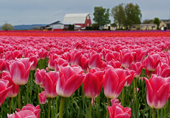 Field of Pink (sea turtle) Tags: washington tulip tulips flower flowers skagit skagitvalley skagitcounty tulipfestival festival skagitvalleytulipfestival skagitcountytulipfestival field fields color colors colorful bright spring bloom blooming blooms blossom blossoms pink barn bokeh