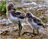 I've Got Your Back ... (Aspenbreeze) Tags: avocet americanavocetchicks americanavocet wildbirdbirdbaby babybird hatchlings nature rural monatanwildlife wildlife bevzuerlein aspenbreeze moonandbackphotography