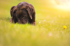 The old gal (Alex Matravers) Tags: dog sun labrador chocolate sony fe 85mm field outdoor outside nature