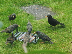 Blackbird looking on, occaisonally darting in (petelovespurple) Tags: food toast pate birds blackbird starlings