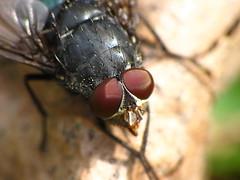 Fly Eyes - Macro Mondays: EYE(S) (thatSandygirl) Tags: macromondays fly insect eyes red black outdoor nature animal portrait bug