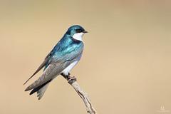 Tree swallow  - Hirondelle bicolore - Tachycineta bicolor (Maxime Legare-Vezina) Tags: bird oiseau nature wildlife animal canon