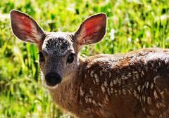 The New Kid :-) (Christopoulos) Tags: fawn deer blacktaileddeer baby babies babyanimals babydeer cute