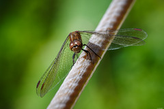 That tastes funny... (Rico the noob) Tags: dof bokeh nature d500 70200mmf28 insect animal 2017 macro dragonfly published 70200mm animals eye closeup outdoor madeira
