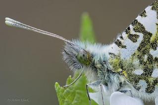 Aurorafalter (Anthocharis cardamines) Männchen