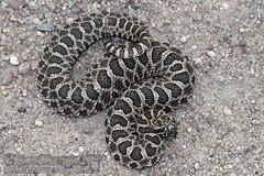 Sistrurus t. tergeminus (Prairie/ Western Massasauga) (Kevin Messenger) Tags: sistrurus tergeminus prairie western massasauga venomous pitviper viper rattlesnake rattle snake reptile herpetology kansas