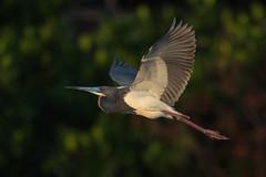 Homeward Heron (PeterBrannon) Tags: bird egrettatricolor flight florida nature pinellascounty pose tricoloredheron water wildlife redeye