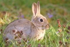 WILD RABBIT (merseymouse) Tags: animals wildlife rabbits nature mammals