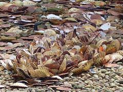 A surfeit of scallop shells (Charos Pix) Tags: shells scallops folkestone
