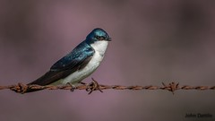 Tree swallow with dogwood tree background (flintframer) Tags: swallow tree wow dattilo nature wildlife county harrison indiana canon eos 7d markii ef600mm 14x