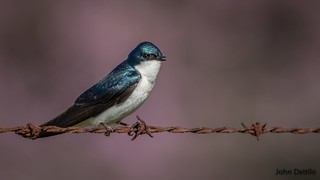 Tree swallow with dogwood tree background