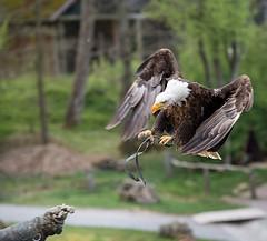 Adler im Anflug (muman71) Tags: dsc8515 wildpark tripsdrill d610 sigma70200ex adler badenwürttemberg nikon f5 1500sec 170mm iso400 2017