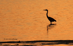 Tangerine Heron (maryanne.pfitz) Tags: greatblueheron ardeaherodias wadingbird bird wildlife nature sanibelisland florida dingdarlingnwr sunset fishing silhouette mapgbh7805 maryannepfitzinger