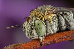 Unfluffy #2 (affectatio) Tags: macro mpe65 bug insect bee nativebee australiannativebee bluebandedbee sleepingbee sleeping roostingbee roosting 6d canon6d focusstack zerene zerenestacker