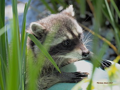 Young Raccoon (Carbonman_) Tags: raccoon stanleypark lostlagoon