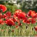 fiori_1919